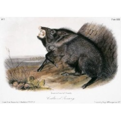 Giclee Print: Peccaries Wall Art by John James Audubon by John James Audubon: 24x18in found on Bargain Bro from Art.com for USD $19.00