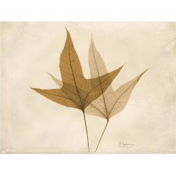 Art Print: Trident Maple Moments by Albert Koetsier: 24x18in