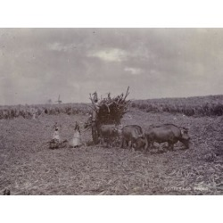 Photographic Print: Sugar Plantation, Barbados, 1880: 24x18in
