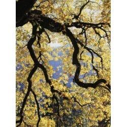 Photographic Print: California, Sierra Nevada, Yosemite National Park, Backlit California Black Oaks by Christopher Talbot Frank: 12x9in
