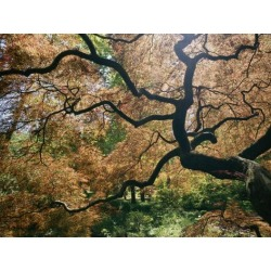 Photographic Print: The Gnarled Branches of a Japanese Maple Tree in Spring by Darlyne A. Murawski: 16x12in