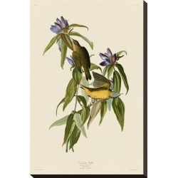 Stretched Canvas Print: Connecticut Warbler by John James Audubon: 21x14in found on Bargain Bro India from Art.com for $58.00