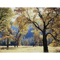 Photographic Print: California, Yosemite National Park, California Black Oak Trees in a Meadow by Christopher Talbot Frank: 12x9in