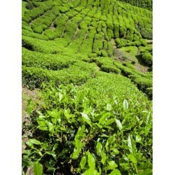 Photographic Print: Poster of Boh Tea Plantation, Cameron Highlands by Matthew Williams-Ellis: 24x18in