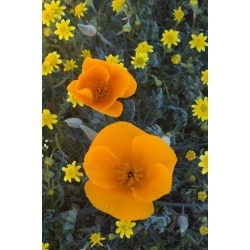 Photographic Print: California. California Poppies and Goldfields Blooming in Early Spring in Antelope Valley by Judith Zimmerman: 24x16in
