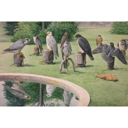 Giclee Print: A Painting of Several Species of Falcon Tethered to Outdoor Blocks by Louis Agassi Fuertes: 24x16in