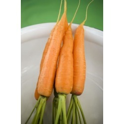 Photographic Print: Fresh Carrots in White Bowl (Overhead View) by Foodcollection: 24x16in