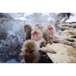 Photographic Print: Japanese Snow Monkeys by SeanPavonePhoto: 24x16in