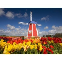 Photographic Print: Poster of Windmill in Tulip Field by Craig Tuttle: 24x18in found on Bargain Bro India from Art.com for $25.00