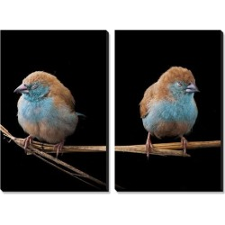 Canvas Art Set: Blue Waxbills - a Common Sight in Gorongosa's Dry, Bushy Grasslands by Joel Sartore: 30x40in