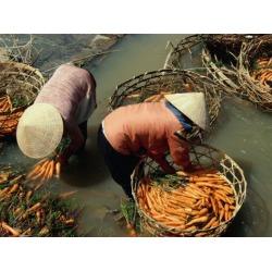 Photographic Print: Women Washing Carrots in River Water Da Lat, Lam Dong, Vietnam by Glenn Beanland: 24x18in