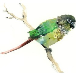 Giclee Print: Conure Parakeet Parrot by Suren Nersisyan: 24x32in found on Bargain Bro India from Art.com for $70.00