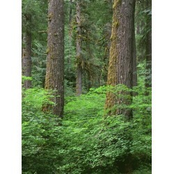 Photographic Print: OR, Willamette NF. Springtime in old growth forest of Douglas fir and western hemlock by John Barger: 12x9in found on Bargain Bro India from Art.com for $18.00