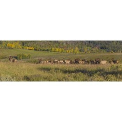 Photographic Print: A Bull Elk, Cervus Canadensis, Attempts to Lead His Cows to a Greener Location by Richard Seeley: 36x12in