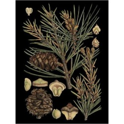 Art Print: Small Dramatic Conifers II by Vision Studio: 24x18in found on Bargain Bro India from Art.com for $20.00