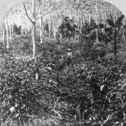 Photographic Print: A Coffee Plantation, Jamaica, C1900s by CH Graves: 16x16in