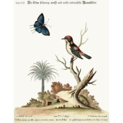 Giclee Print: The Little Black, White and Red Indian Creeper, 1749-73 by George Edwards: 24x18in