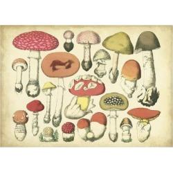 Art Print: Vintage Mushroom Chart by Vision Studio: 24x18in