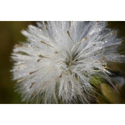 Photographic Print: Close-up of dandelion seed with dew drops, Glenview, Illinois, USA by Panoramic Images: 12x8in