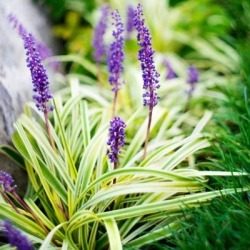 National Plant Network Variegated Liriope Plant with Purple Blooms, 2.5 qt. Pot, 12-18 in. Tall and Wide Mature, TSC1306 found on Bargain Bro Philippines from Tractor Supply for $19.99