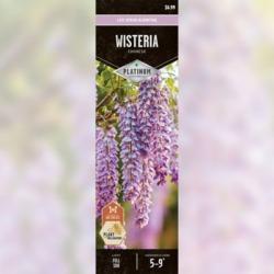 DeGroot Vine Wisteria; 1 Plant