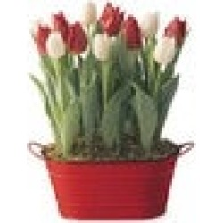 Red and White Tulip Bulb Garden - Available to Ship Beginning Nov found on Bargain Bro India from Plow & Hearth for $19.99