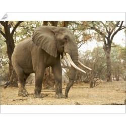 10 inch Photo. African Elephant - Loxodonta africana - mature found on Bargain Bro Philippines from Media Storehouse for $16.64