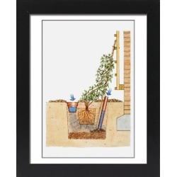 Framed Photo. Illustration showing how to plant climbers by