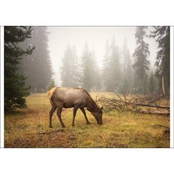 A1 Poster. A mature female elk grazing - Wapiti (Cervus found on Bargain Bro Philippines from Media Storehouse for $76.34