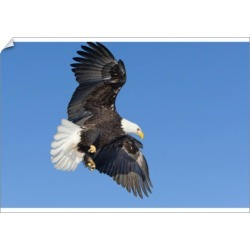A1 Poster. Southeast Alaska, Mature Bald Eagle in flight with found on Bargain Bro Philippines from Media Storehouse for $76.34
