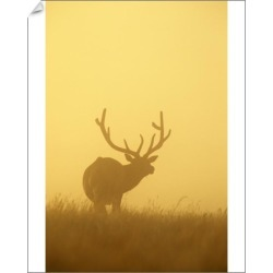 10 inch Photo. Mature Bull Elk in the dawn fog at Fort Niobrara found on Bargain Bro Philippines from Media Storehouse for $16.64