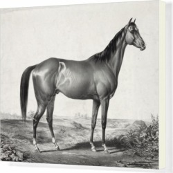 Box Canvas Print. Celebrated horse lexington (5 yrs. old) by