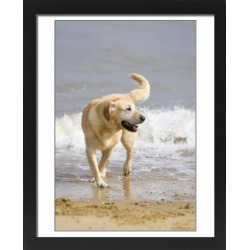 Large Framed Photo. Labrador Dog - Playing on beach found on Bargain Bro Philippines from Media Storehouse for $180.45