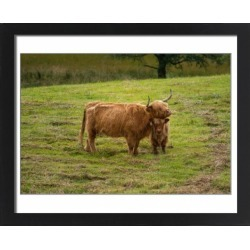 Large Framed Photo. Highland cattle and baby found on Bargain Bro Philippines from Media Storehouse for $180.45