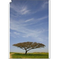 A2 Poster. Israel, the northern Negev. Acacia Raddiana tree by