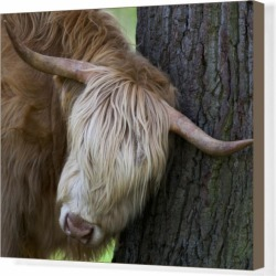 Box Canvas Print. Highland cow rubbing its head against a tree found on Bargain Bro Philippines from Media Storehouse for $180.45