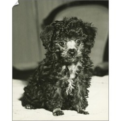 10 inch Photo. Poodle sitting indoors, (B&W), close-up found on Bargain Bro Philippines from Media Storehouse for $16.64
