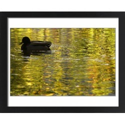 Large Framed Photo. A duck swims past on a lake in Dortmund found on Bargain Bro Philippines from Media Storehouse for $213.47