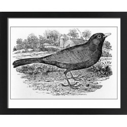 Large Framed Photo. The Blackbird, illustration from A History found on Bargain Bro Philippines from Media Storehouse for $180.45