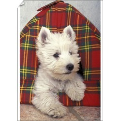 A1 Poster. West Highland White terrier (Canis familiaris) found on Bargain Bro Philippines from Media Storehouse for $76.34
