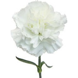 Carnations, White (100 stems) found on Bargain Bro Philippines from Sam's Club for $59.98