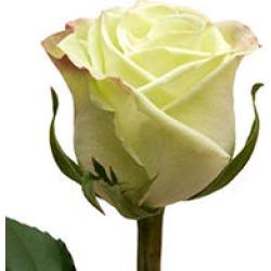 Roses, Green Tea (50 stems)