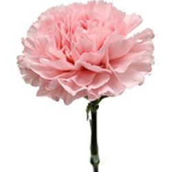 Carnations, Pink (50 stems) found on Bargain Bro Philippines from Sam's Club for $39.98