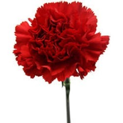 Carnations, Red (50 stems) found on Bargain Bro India from Sam's Club for $39.98
