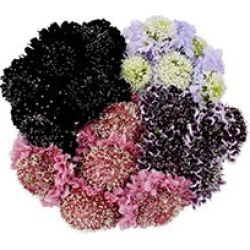 Scabiosa Scoop, Assorted Colors (50 stems) found on Bargain Bro Philippines from Sam's Club for $53.98