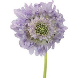 Scabiosa Scoop, Lavender (50 stems) found on Bargain Bro India from Sam's Club for $53.98