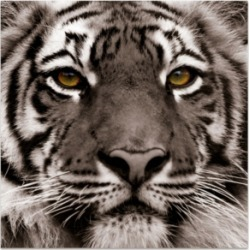Empire Art Direct 'Eye of The Tiger' Frameless Free Floating Tempered Glass Panel Graphic Wall Art - 38