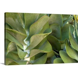 Large Solid-Faced Canvas Print Wall Art Print 30 x 20 entitled Close up of kalanchoe plant, flapjacks variety