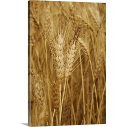 Large Solid-Faced Canvas Print Wall Art Print 20 x 30 entitled Wheat field