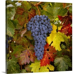 Large Solid-Faced Canvas Print Wall Art Print 20 x 20 entitled Mature Cabernet Sauvignon wine grapes on the vine, ready fo... found on Bargain Bro from Great Big Canvas - Dynamic for USD $98.79